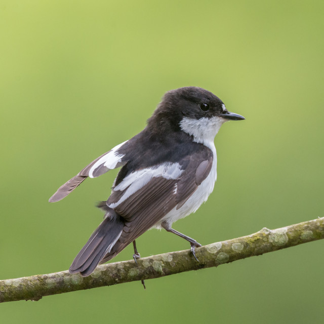"""""""A male pied flycatcher lifts its wing"""" stock image"""