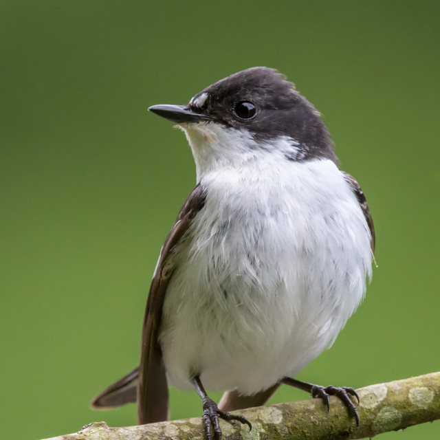 """Facing profile of male pied flycatcher perching on a lichen encrusted willow..."" stock image"
