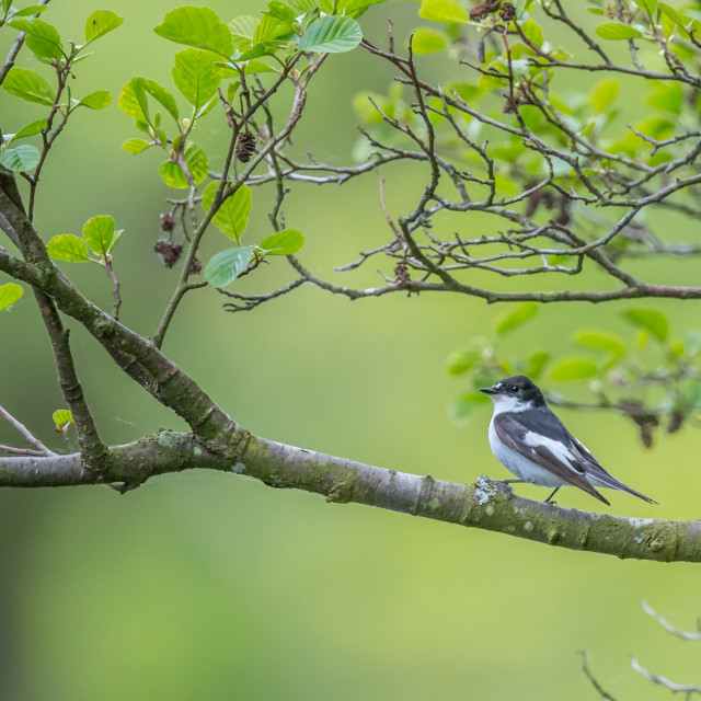 """""""A male pied flycatcher perching in a willow tree over the river Usk"""" stock image"""