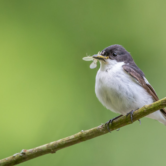 """A male pied flycatcher perching with its meal of a mayfly"" stock image"