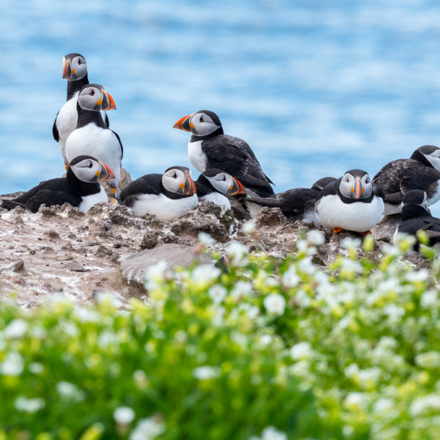"""A group of puffins in the Farne Islands"" stock image"