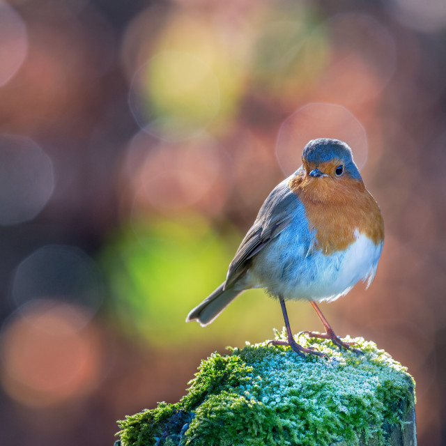 """Robin with circular bokeh background"" stock image"