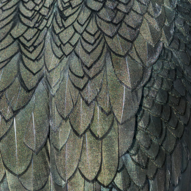 """Close up detail of shag plumage"" stock image"