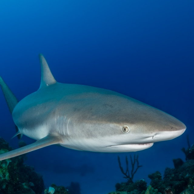 """Caribbean reef shark swim over a coral reef in the Bahamas"" stock image"