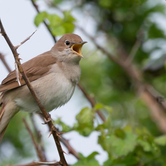 """Nightingale singing at Pulborough brooks RSPB reserve"" stock image"