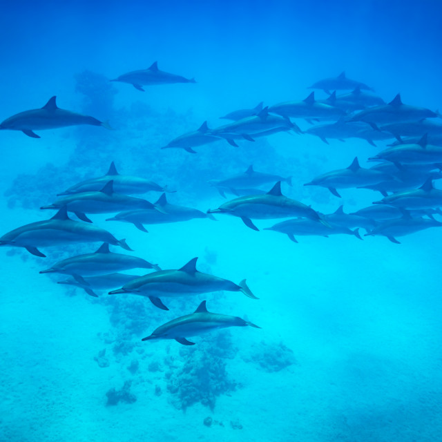 """Spinner dolphin pod swimming over reef"" stock image"