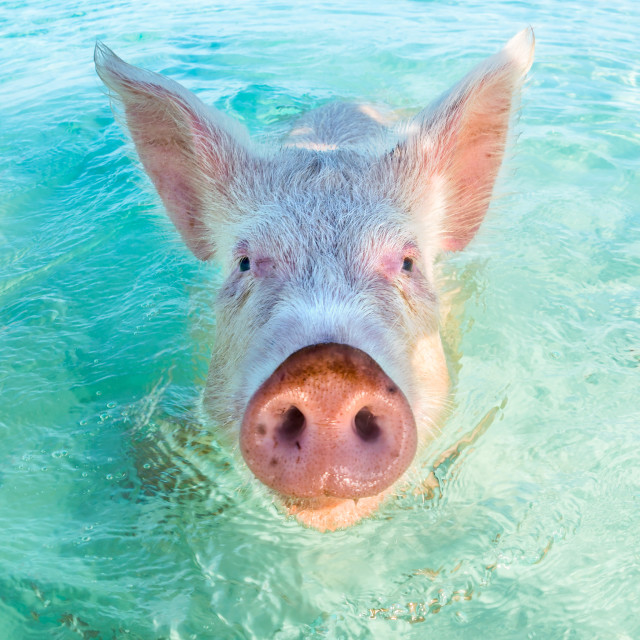 """One swimming pig in the Bahamas"" stock image"