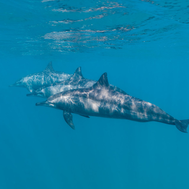"""Three dolphins underwater"" stock image"