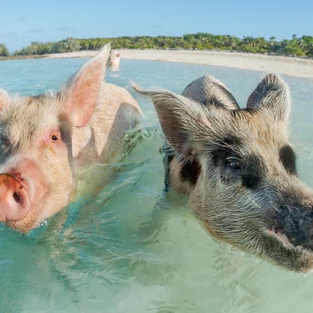 """Two pigs swimming in the Bahamas"" stock image"
