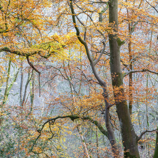 """Wales woodland panorama"" stock image"