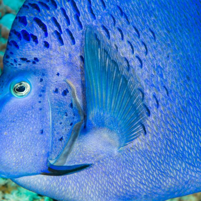 """Yellowbar angelfish head profile"" stock image"