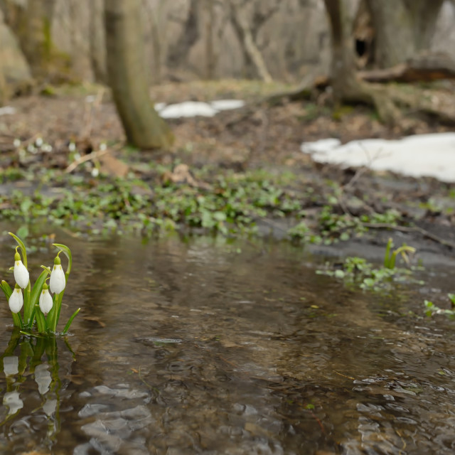 """Snowdrops growing on a forest"" stock image"