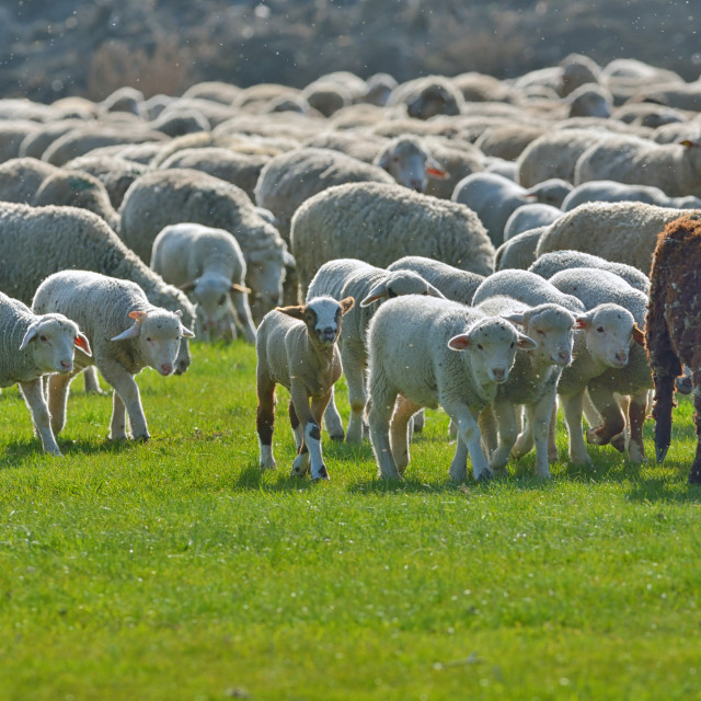 """Flock of sheep on field"" stock image"