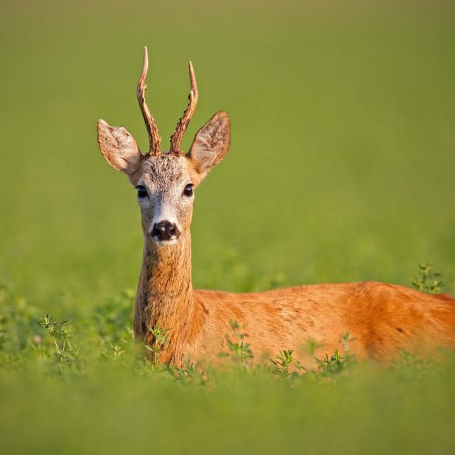 """Roe deer, caprelous capreolus, buck in clover with green blurred background."" stock image"