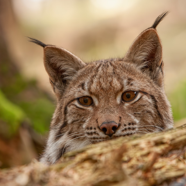 """Detailed close-up of hiding adult eursian lynx on a hunt in autmn forest."" stock image"
