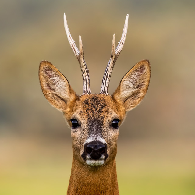 """Portrait of a roe deer, capreolus capreolus, buck in summer"" stock image"