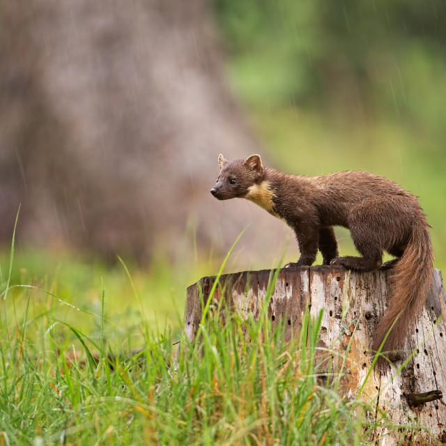 """European pine marten, martes martes, standing on a stump in forest in rain."" stock image"