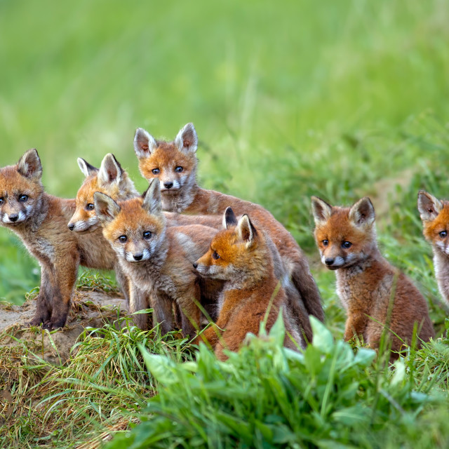 """""""Red fox, vulpes vulpes, cubs sitting by the den."""" stock image"""