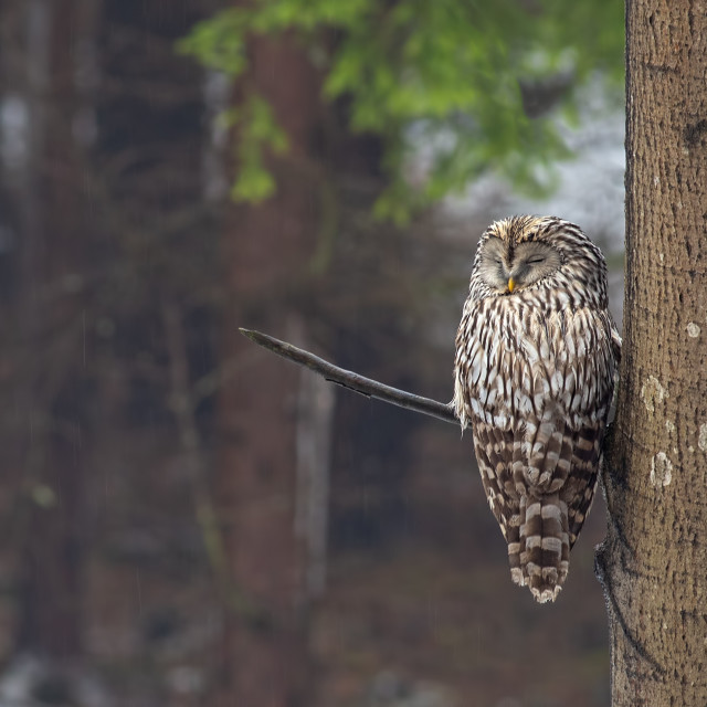 """Ural owl, Strix uralensis, sleeping in a forest hidden by a tree."" stock image"