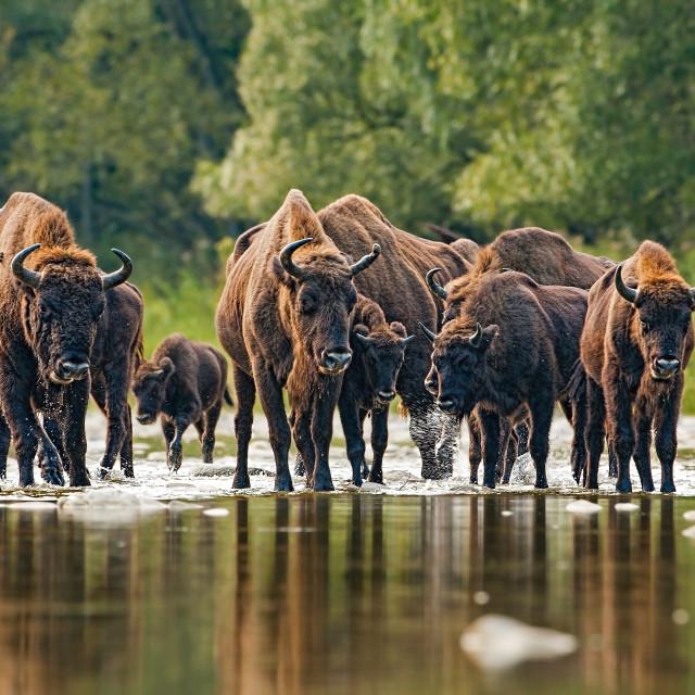 """""""Herd of european bison, bison bonasus, crossing a river"""" stock image"""