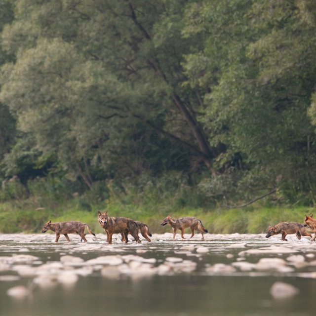 """Wolf pack of seven crossing river in wilderness"" stock image"