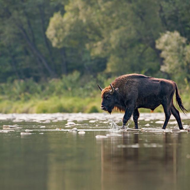 """Bull of european bison, bison bonasus, crossing a river"" stock image"