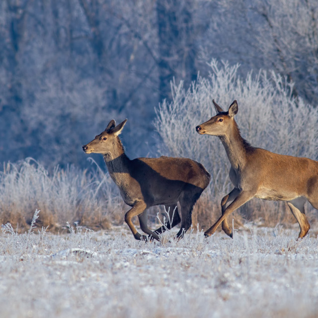 """""""Red deer, cervus elaphus, running on meadow with frost covered grass in winter."""" stock image"""