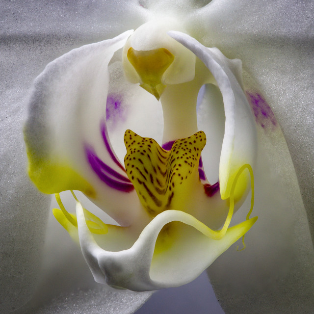 """""""Orchid Upclose"""" stock image"""