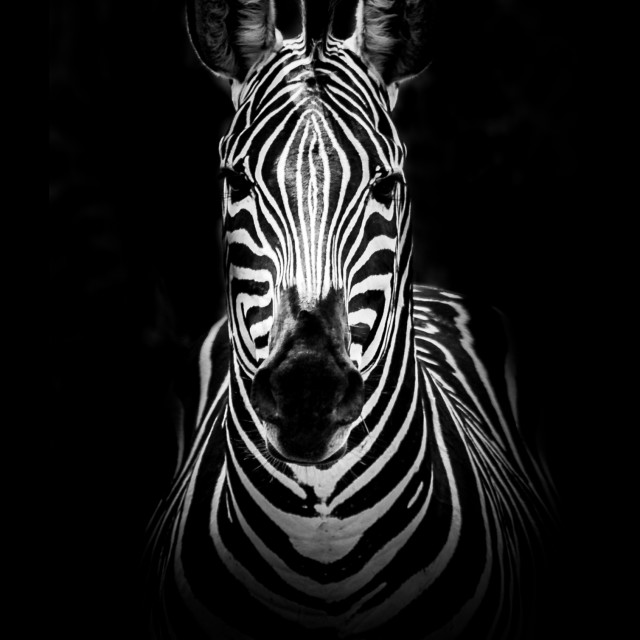 """Zebra portrait, Ruaha National Park, Tanzania"" stock image"
