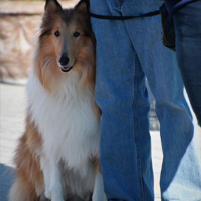 """""""A collie dog. Pastor collie."""" stock image"""