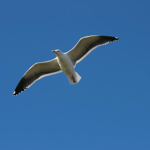 """a seagull in flight - Una gaviota en vuelo"" stock image"