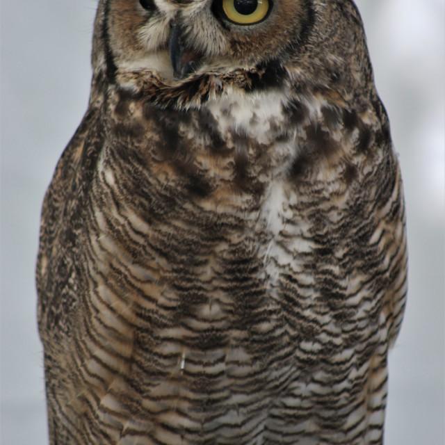 """""""A owl - Un búho"""" stock image"""
