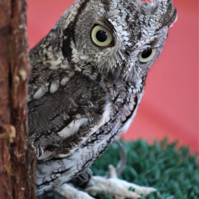 """""""A small owl - Un búho pequeño"""" stock image"""