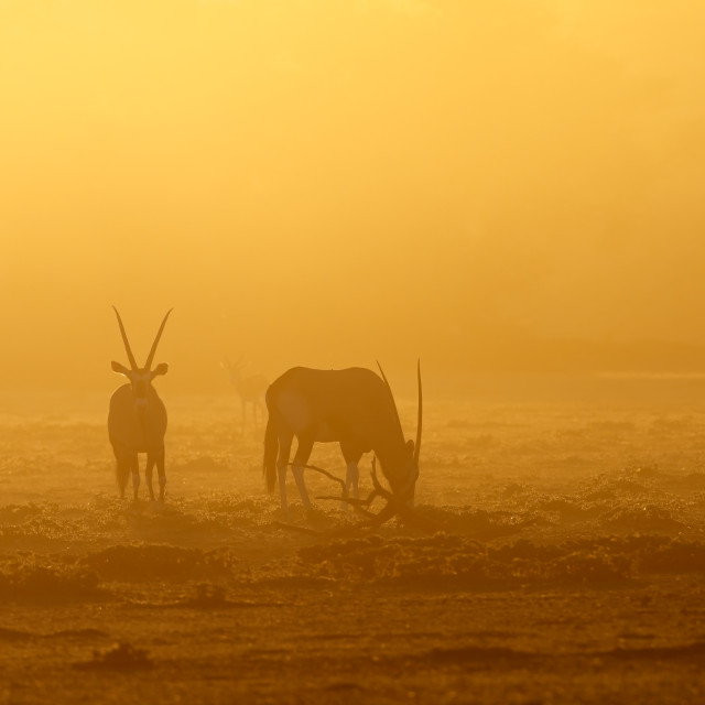 """Gemsbok antelopes at sunrise"" stock image"