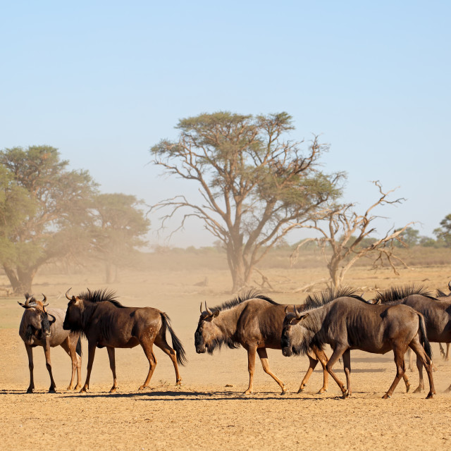 """Blue wildebeest in dry riverbed"" stock image"