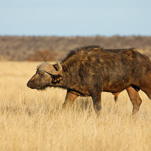 """African buffalo in grassland"" stock image"