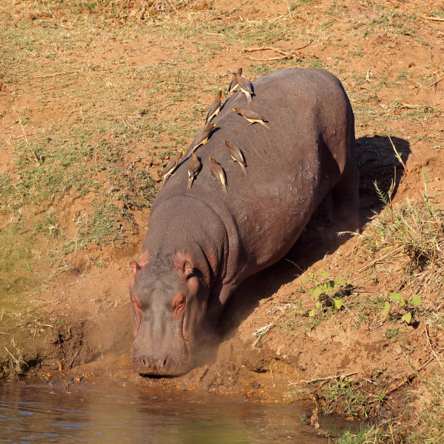 """Hippopotamus entering water"" stock image"