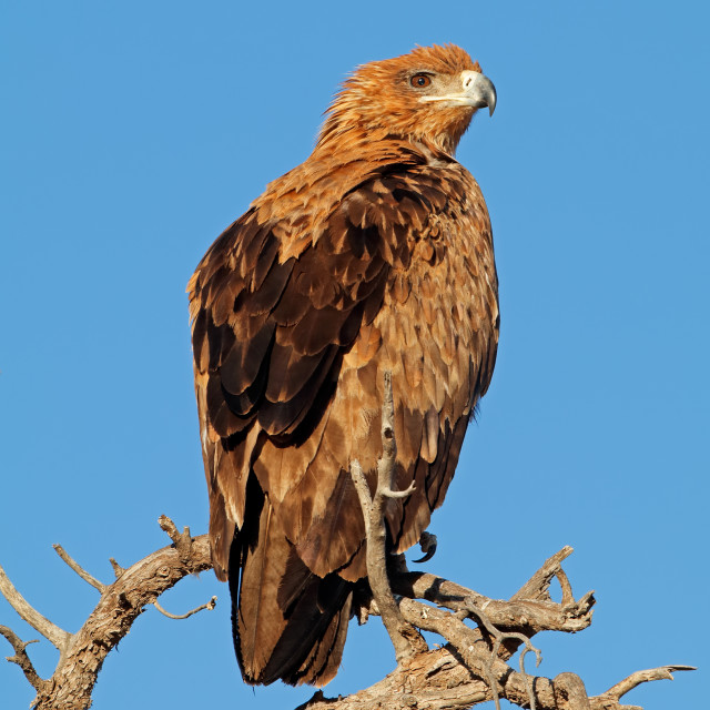 """Tawny eagle perched on a tree"" stock image"