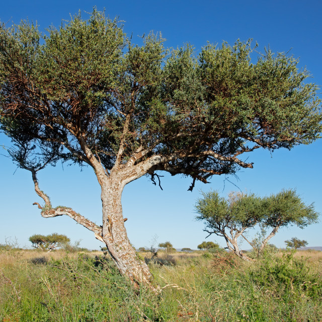 """Shepherds tree against a blue sky"" stock image"