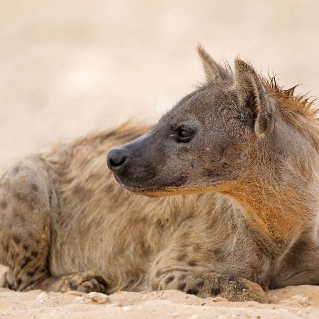 """Spotted hyena resting"" stock image"