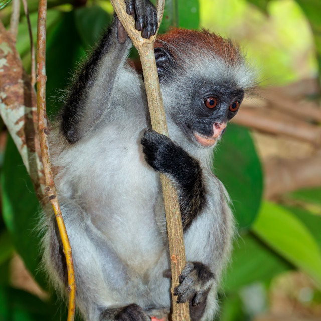 """Zanzibar red colobus monkey"" stock image"