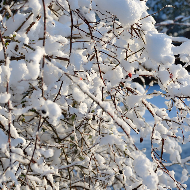 """Bush with snow and red berries"" stock image"