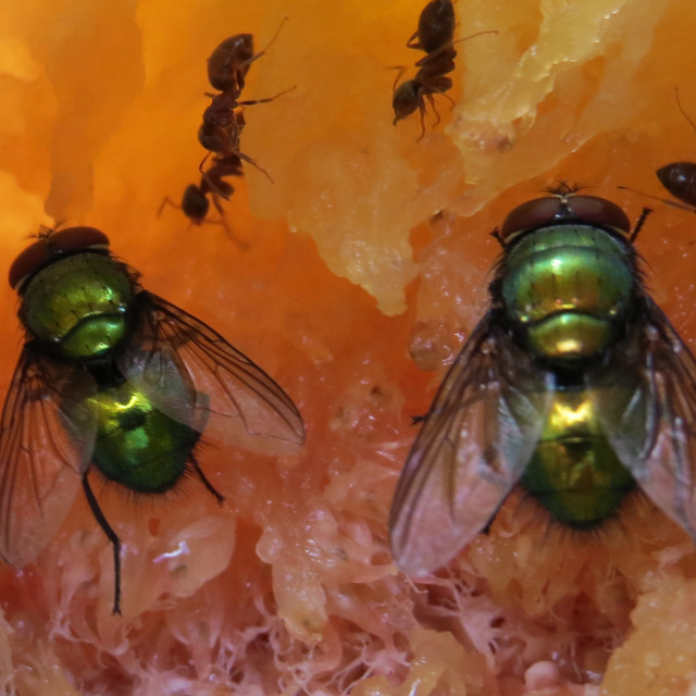 """""""Green Bottle blowflys and ants eating a fig"""" stock image"""