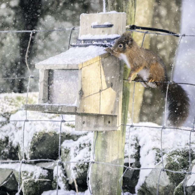 """Red Squirrel At Feeding Station"" stock image"