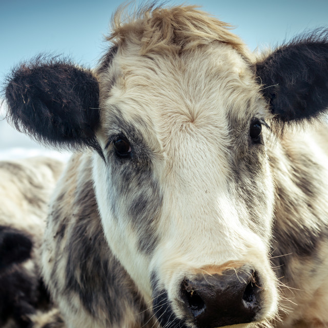 """""""Sweet looking shaggy cow"""" stock image"""