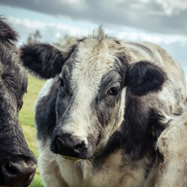 """""""Thoughtful looking shaggy cow"""" stock image"""