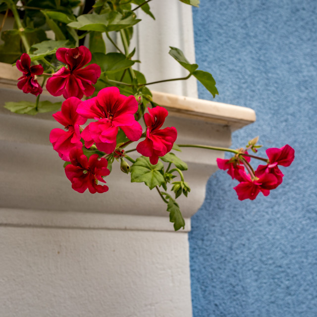 """""""Red geranium in front of blue wall, white window"""" stock image"""
