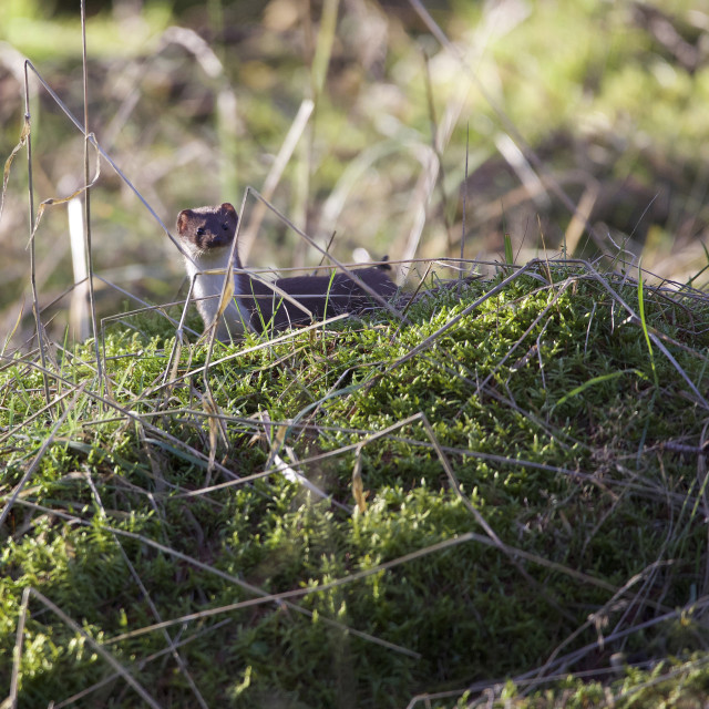 """""""Weasel in the undergrowth."""" stock image"""