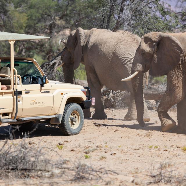 """Desert Adapted Elephants walking close to tourist vehicle, near"" stock image"