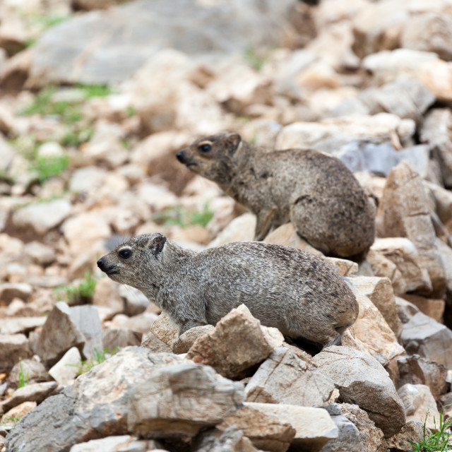 """Rock Dassie, Rock Hyrax (Procavia capensis) near Etosha National"" stock image"
